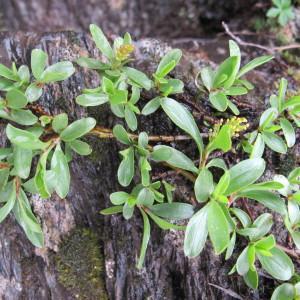 Photographie n°673980 du taxon Salix retusa