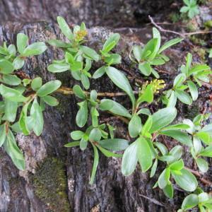 Photographie n°673982 du taxon Salix retusa