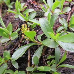 Photographie n°673984 du taxon Salix retusa