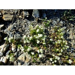 Galium pseudohelveticum Ehrend. (Gaillet des Alpes occidentales)