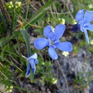 Photographie n°674232 du taxon Gentiana orbicularis Schur [1852]