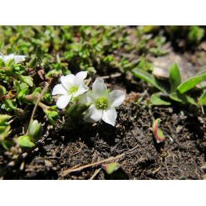 Arenaria biflora L. (Sabline à deux fleurs)