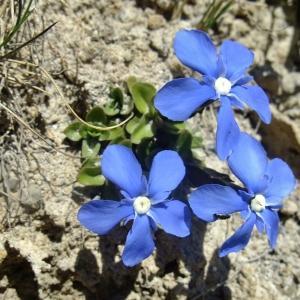 Photographie n°674240 du taxon Gentiana orbicularis Schur [1852]