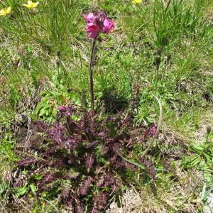 Photographie n°674444 du taxon Pedicularis cenisia