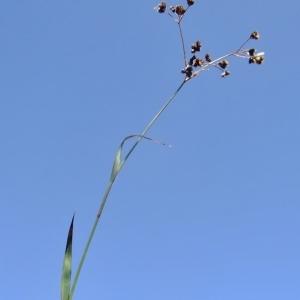 Photographie n°674548 du taxon Luzula alpinopilosa (Chaix) Breistr. [1947]