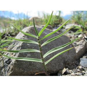 Trisetum distichophyllum (Vill.) P.Beauv. ex Roem. & Schult. (Avoine distique)