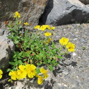 Photographie n°674590 du taxon Helianthemum grandiflorum