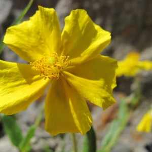 Photographie n°674592 du taxon Helianthemum grandiflorum