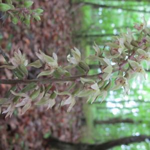 Photographie n°674624 du taxon Epipactis purpurata