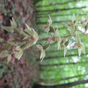 Photographie n°674625 du taxon Epipactis purpurata