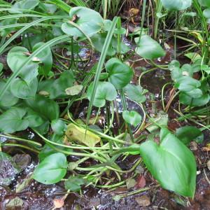Photographie n°674629 du taxon Calla palustris