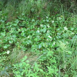 Photographie n°674632 du taxon Calla palustris