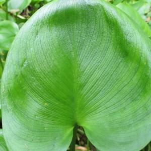 Photographie n°674633 du taxon Calla palustris