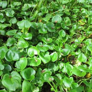Photographie n°674634 du taxon Calla palustris