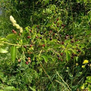 Photographie n°675299 du taxon Prunus mahaleb