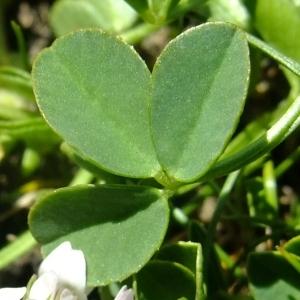 Photographie n°675593 du taxon Trifolium thalii Vill. [1779]