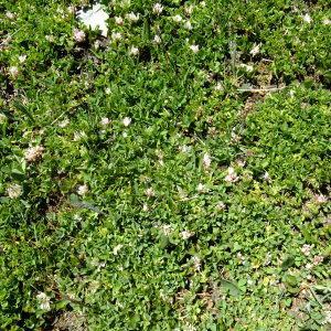 Photographie n°675594 du taxon Trifolium thalii Vill. [1779]