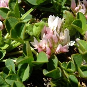 Photographie n°675596 du taxon Trifolium thalii Vill. [1779]