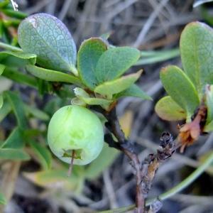 Photographie n°675614 du taxon Vaccinium uliginosum L. [1753]