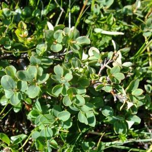 Photographie n°675615 du taxon Vaccinium uliginosum L. [1753]