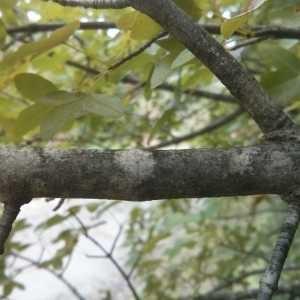 Photographie n°675818 du taxon Acer monspessulanum L. [1753]
