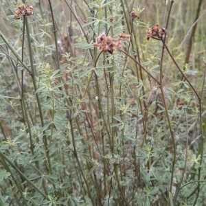 Photographie n°675821 du taxon Dorycnium pentaphyllum Scop.
