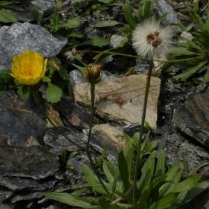 Photographie n°676374 du taxon Hieracium glaucum All. [1773]