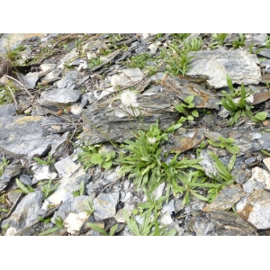 Hieracium glaucum All. [1773] (Épervière glauque)