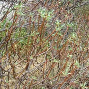 Photographie n°676514 du taxon Euphorbia dendroides L. [1753]