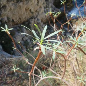 Photographie n°676517 du taxon Euphorbia dendroides L. [1753]
