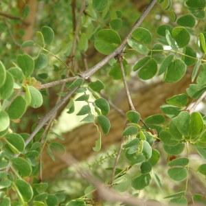 Photographie n°676759 du taxon Acacia gourmaensis A. Chev.