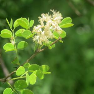 - Acacia gourmaensis A. Chev.