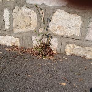 Photographie n°676856 du taxon Torilis du Japon