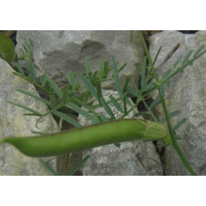 Lathyrus saxatilis (Vent.) Vis. (Gesse des rochers)