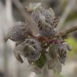 Medicago coronata (L.) Bartal. (Luzerne à gousses en couronne)