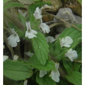 Sideritis romana L. subsp. romana (Crapaudine de Rome)