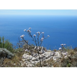 Iberis linifolia L. subsp. linifolia (Ibéris à feuilles de lin)