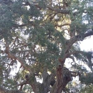 Photographie n°677376 du taxon Quercus suber L. [1753]