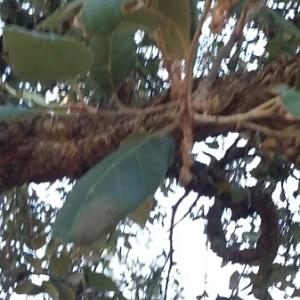 Photographie n°677377 du taxon Quercus suber L. [1753]
