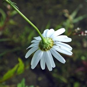 Photographie n°677475 du taxon Tripleurospermum inodorum (L.) Sch.Bip. [1844]