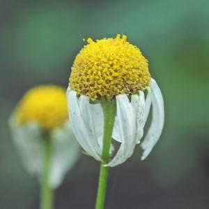 Photographie n°677477 du taxon Tripleurospermum inodorum (L.) Sch.Bip. [1844]