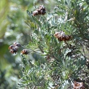 Photographie n°677560 du taxon Anthyllis barba-jovis L.