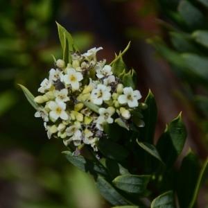 Photographie n°677615 du taxon Daphne gnidium L. [1753]