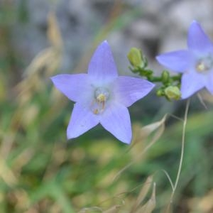 Photographie n°677751 du taxon Campanula pyramidalis L.