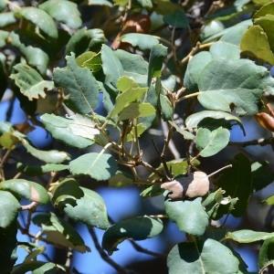 Photographie n°677754 du taxon Quercus suber L. [1753]