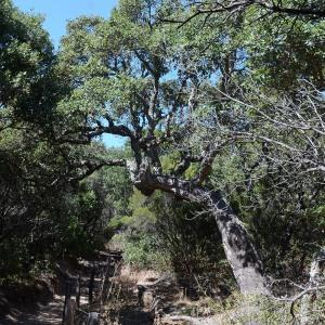 Photographie n°677756 du taxon Quercus suber L. [1753]