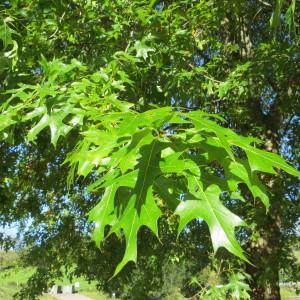 Photographie n°677790 du taxon Quercus palustris Münchh.