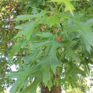Photographie n°677791 du taxon Quercus palustris Münchh.