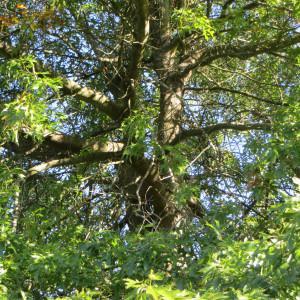 Photographie n°677792 du taxon Quercus palustris Münchh.