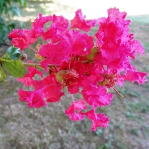 Photographie n°677796 du taxon Lagerstroemia indica L. [1759]